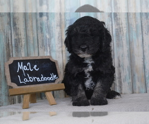 Labradoodle Dog Breeder in NILES,  USA