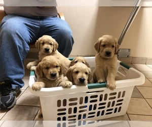 Golden Retriever Dog Breeder in LAPEER,  USA