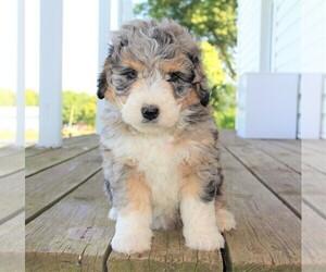 Bernedoodle Dog Breeder in CRESTON,  USA
