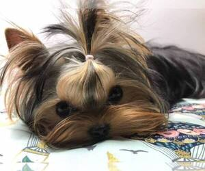Yorkshire Terrier Dog Breeder near PENSACOLA, FL, USA