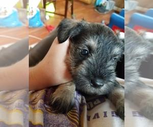 Main photo of Schnauzer (Miniature) Dog Breeder near LIVINGSTON, TN, USA