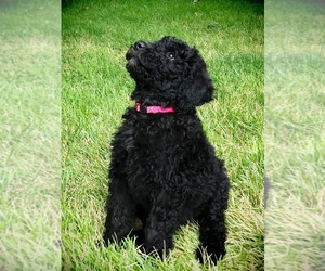 Main photo of Goldendoodle Dog Breeder near HGHLNDS RANCH, CO, USA