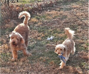 Main photo of Goldendoodle Dog Breeder near KANSAS CITY, KS, USA