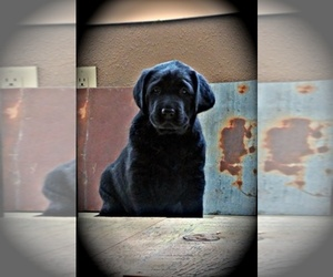 Main photo of Labrador Retriever Dog Breeder near KAMIAH, ID, USA