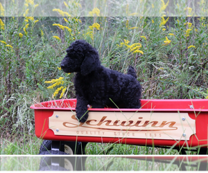 Poodle (Standard) Dog Breeder in LAKE CITY,  USA