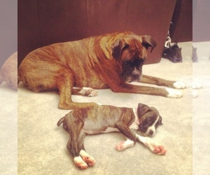 Main photo of Boxer Dog Breeder near BEL AIR, MD, USA