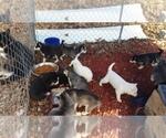 Siberian Husky Breeder in LEBANON, MO