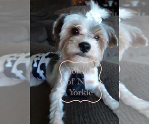 Yorkshire Terrier Dog Breeder in TROUPSBURG,  USA