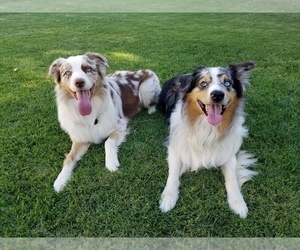 Main photo of Australian Shepherd Dog Breeder near RIVERBANK, CA, USA