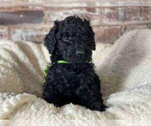 Main photo of Poodle (Standard) Dog Breeder near N PLAINFIELD, NJ, USA