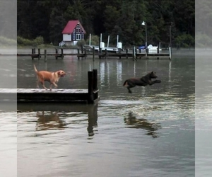 Chesapeake Bay Retriever Dog Breeder near CHARLOTTE HALL, MD, USA