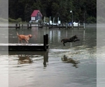 Chesapeake Bay Retriever Breeder in CHARLOTTE HALL, MD, USA