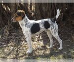 Jack Russell Terrier Breeder in ALCESTER, SD, USA