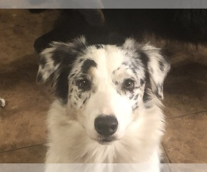 Australian Shepherd Dog Breeder near MARION, TX, USA