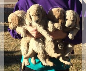 Main photo of Goldendoodle Dog Breeder near COLORADO SPRINGS, CO, USA