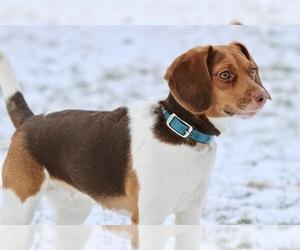 Main photo of Beagle Dog Breeder near DEERFIELD, OH, USA