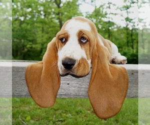 Basset Hound Dog Breeder near WINCHESTER, OH, USA