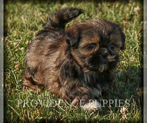 Zuchon Dog Breeder near WAYLAND, IA, USA