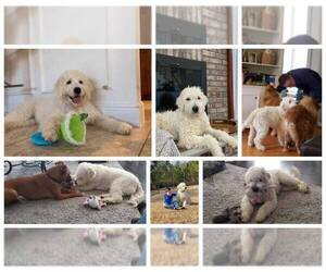 Goldendoodle Dog Breeder in COLONIAL HEIGHTS,  USA