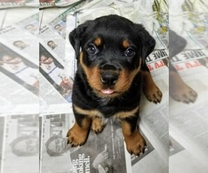 Main photo of Rottweiler Dog Breeder near BALTIC, CT, USA