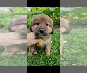 Bernese Mountain Dog-Caucasian Shepherd Dog Mix Dog Breeder in REDRUN,  USA