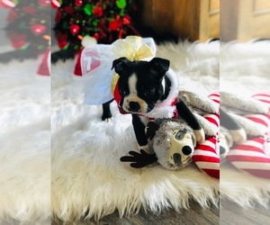 Main photo of Boston Terrier Dog Breeder near DOVER, DE, USA