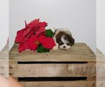 Shih Tzu Breeder in FRESNO, OH, USA