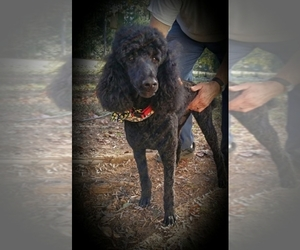 Main photo of Poodle (Standard) Dog Breeder near Gurley, AL, USA