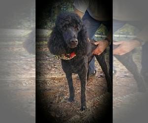 Poodle (Standard) Breeder in Gurley, AL