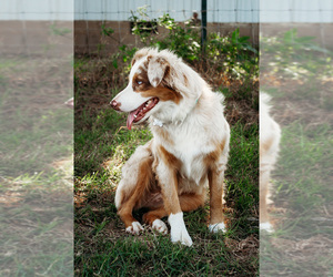 Australian Shepherd Dog Breeder in ARDMORE,  USA