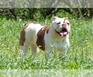 English Bulldog Dog Breeder in STEPHENVILLE,  USA