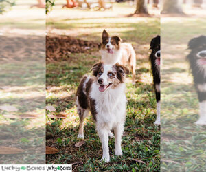 Main photo of Australian Shepherd Dog Breeder near GAINESVILLE, FL, USA
