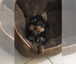 Yorkshire Terrier Dog Breeder in DUNSTABLE,  USA