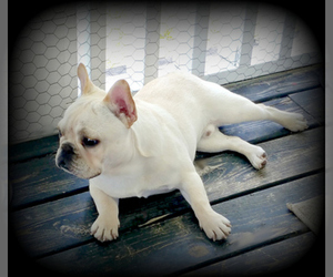 Main photo of French Bulldog Dog Breeder near DUNMOR, KY, USA