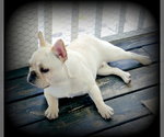 French Bulldog Breeder in DUNMOR, KY, USA