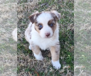 Main photo of Australian Shepherd Dog Breeder near COMANCHE, TX, USA