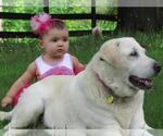 Labrador Retriever Breeder in MAYSVILLE, GA, USA