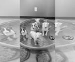 Bull Terrier Breeder in TAYLOR, MI, USA