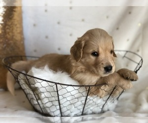 Goldendoodle Breeder in HESPERIA, CA, USA