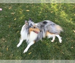 Collie Breeder in CARMICHAEL, CA, USA