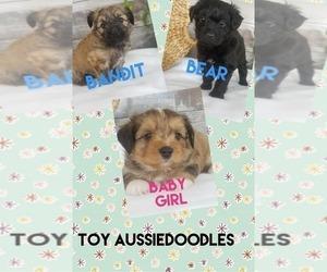 Australian Shepherd-Poodle (Toy) Mix Dog Breeder in MOUNT VERNON,  USA