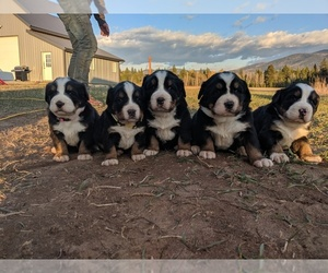 Bernese Mountain Dog Dog Breeder near BONNERS FERRY, ID, USA