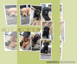 Main photo of Labradoodle Dog Breeder near MCDONOUGH, GA, USA