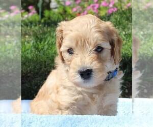 Goldendoodle (Miniature) Dog Breeder near NORTHRIDGE, CA, USA