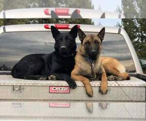 Malinois Breeder in MOSCOW, ID, USA