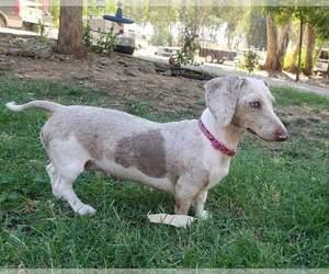 Main photo of Dachshund Dog Breeder near GALT, CA, USA