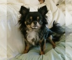 Chihuahua Breeder in RANCHO CUCAMONGA, CA, USA