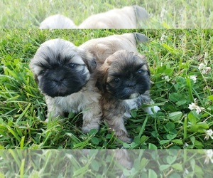 Main photo of Shih Tzu Dog Breeder near MANES, MO, USA