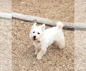 Shih Tzu-Shih-Poo Mix Dog Breeder in RAPID CITY,  USA