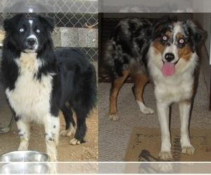 Main photo of Australian Shepherd Dog Breeder near LYNCHBURG, VA, USA